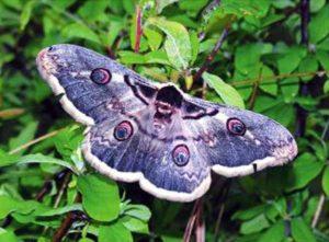 Самурский лес, бабочка
