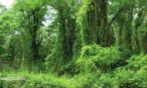 Самурский лес, лианы